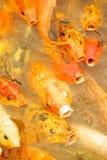Die Fische wünschen das Lebensmittel Lizenzfreie Stockfotografie