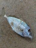 Die fish in the beach. Die fishin beach stock photography