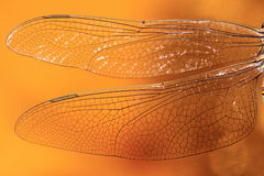 Die Flügel eines Libellenabschlusses oben Lizenzfreie Stockfotos
