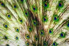Die Flügel und die Federn des männlichen Pfaus Lizenzfreies Stockbild