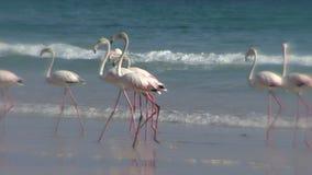 Die Flamingos, die auf einen Sand einziehen, setzen in Oman auf den Strand stock video