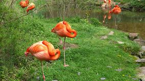 Die Flamingos, die nahe grasartigem Rand des Wassers sich putzen, strömen stock video