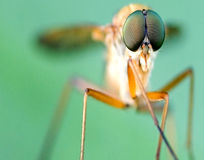 Die Fliege Stockfoto