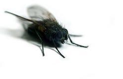 Die Fliege Lizenzfreie Stockfotos