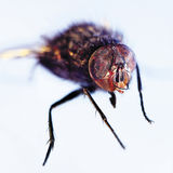 Die Fliege. Abschluss oben. Lizenzfreies Stockbild