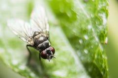 Die Fliege auf Blatt Stockbilder