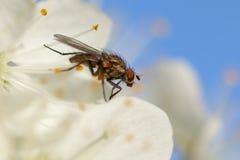 Die Fliege auf einer weißen Blume Lizenzfreie Stockbilder