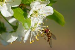 Die Fliege auf einer weißen Blume Stockbild