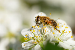 Die Fliege auf einer weißen Blume Stockfotografie