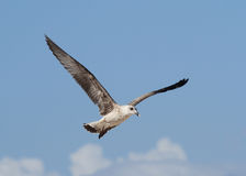 Die Fliege der Seemöwe Lizenzfreies Stockfoto