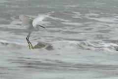 Die Fliege des weißen Reihers des Ecuadorian auf dem Pazifischen Ozean Lizenzfreies Stockfoto