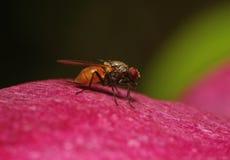 Die Fliege im Profil auf dem roten Blumenblatt einer Blume auf einem dunkelgrünen Hintergrund Stockfotografie