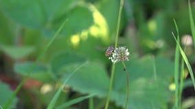 Die Fliege schwebt um die Blume Das Insekt sammelt den Nektar von der Blume stock footage