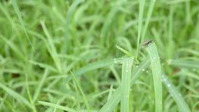 Die Fliegen auf dem Gras mit Wassertröpfchen des Regens stock video footage