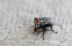 Die Fliegen sind hybridisieren stockbild