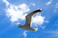 Die Fliegenseemöwe Lizenzfreie Stockfotografie