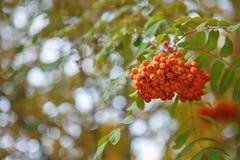 Die Früchte der Eberesche hängend in den Gruppen auf den Niederlassungen Stockfotografie