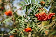 Die Früchte der Eberesche hängend in den Gruppen auf den Niederlassungen O Lizenzfreie Stockfotografie