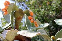 Die Früchte der sabras Anlage sind zur Ernte bereit stockfoto