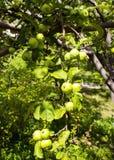 Die Früchte des grünen Apfels wachsen auf einer Niederlassung im Garten Junger grüner unausgereifter Apfel stockfotos