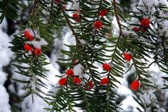 Die Früchte von Eibenbäumen Lizenzfreies Stockbild