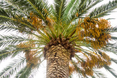 Die Früchte von Palmen auf der Promenade von Budva in Montenegro Lizenzfreie Stockfotos