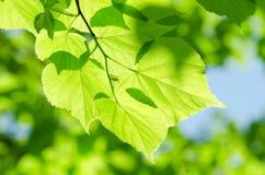 Frühlingsblätter auf einem Baumast Stockbild