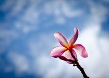Die Frangipaniblume stockbild