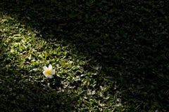 Die Frangipaniblume in der Sonne auf dem Gras Lizenzfreies Stockfoto