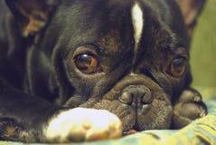 Die französische Bulldogge lizenzfreies stockfoto