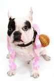 Die französische Bulldogge Lizenzfreie Stockfotos