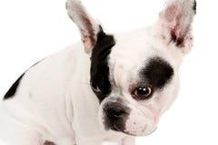 Die französische Bulldogge Stockbild
