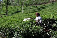 Die Frau arbeitet an einer Plantage des Tees in Indien Stockbilder