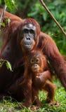 Die Frau des Orang-Utans mit einem Baby auf dem Boden indonesien Die Insel von Kalimantan Borneo Stockfotos