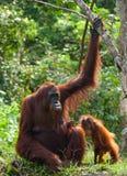 Die Frau des Orang-Utans mit einem Baby auf dem Boden indonesien Die Insel von Kalimantan Borneo Stockbild