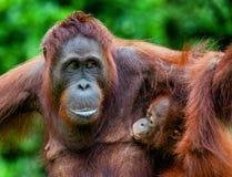 Die Frau des Orang-Utans speist ein Junges Eine Frau des Orang-Utans mit einem Jungen in einem gebürtigen Lebensraum Pongo pygmae Lizenzfreies Stockbild