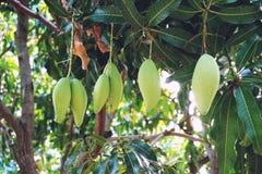 Die Frau, die eine Mangofrucht zeigt, trägt Früchte, geschnitten und geschnitten Lizenzfreie Stockfotografie