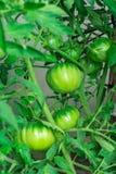 Die Frau erntet eine Ernte von Tomaten Sehr große Tomaten Sehr geschmackvolle Vitamine stockfotos