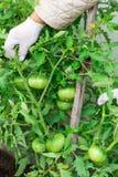 Die Frau erntet eine Ernte von Tomaten Sehr große Tomaten Sehr geschmackvolle Vitamine lizenzfreie stockfotografie
