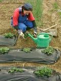 Die Frau gräbt Erdbeeresämlinge stockfoto
