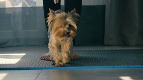 Die Frau setzt das Yorkshire Terrier auf den Boden nahe ihren bloßen Füßen stock video