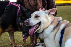 Die Frau, die sie tröstet, erschöpfte Schäferhunde lizenzfreies stockbild