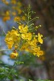 Die Frische der Canola-Blume stockfotos