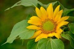 Die Frische der Sonnenblume lizenzfreie stockfotografie
