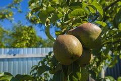 Die Frucht der Birne auf dem Baumast Stockbilder