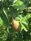 Die Frucht der Birne auf dem Baumast Stockfotografie
