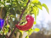 Die Frucht des roten Pfeffers im Fokus der Strahl der Sonne stockfotografie