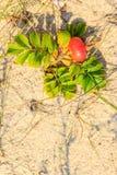 Die Frucht, die wild ist, stieg in die natürliche Einstellung im Freien Lizenzfreie Stockfotografie