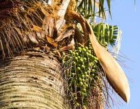 Die Frucht einer Palme Lizenzfreies Stockbild