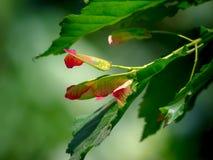 die Frucht eines Ahornbaums auf einem grünen Hintergrund Stockbild